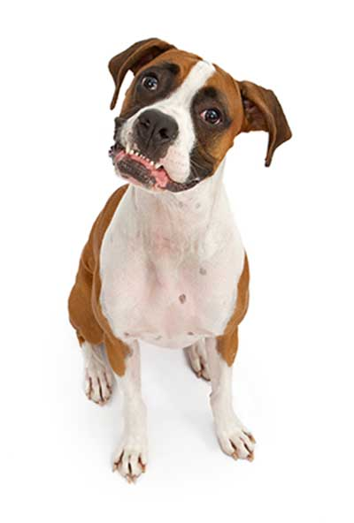 dog-tooth